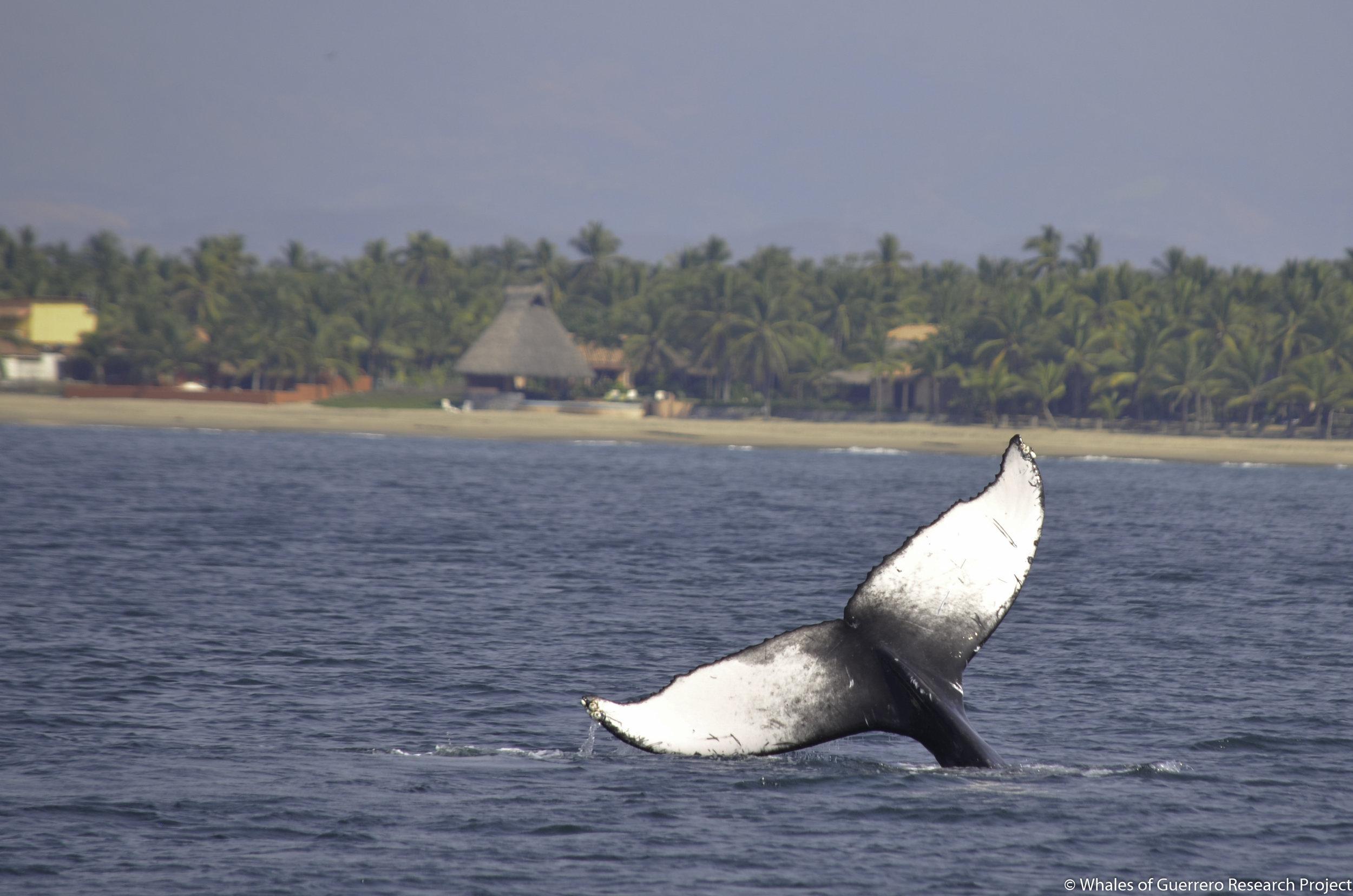 Humpback whale off coast of Barra de Potosí