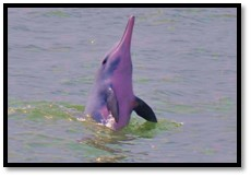 Indo Pacific Humpback Dolphin - photo provided by Ellen Hines