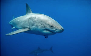 Adult White Sharks, North East Pacific Population, Photo by David McGuire