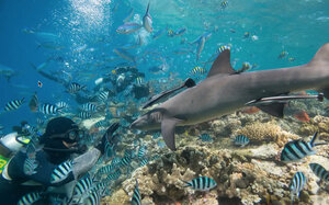 Scuba Diver Watches White Tip Reef Sharks, photo by Shark Stewards