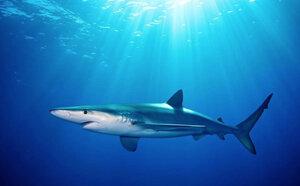 Blue Shark, photo by Shark Stewards