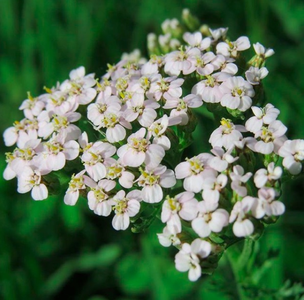 yarrow.jpeg