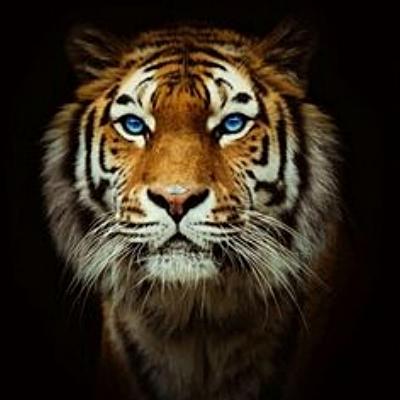 Tiger from Darkness.jpg
