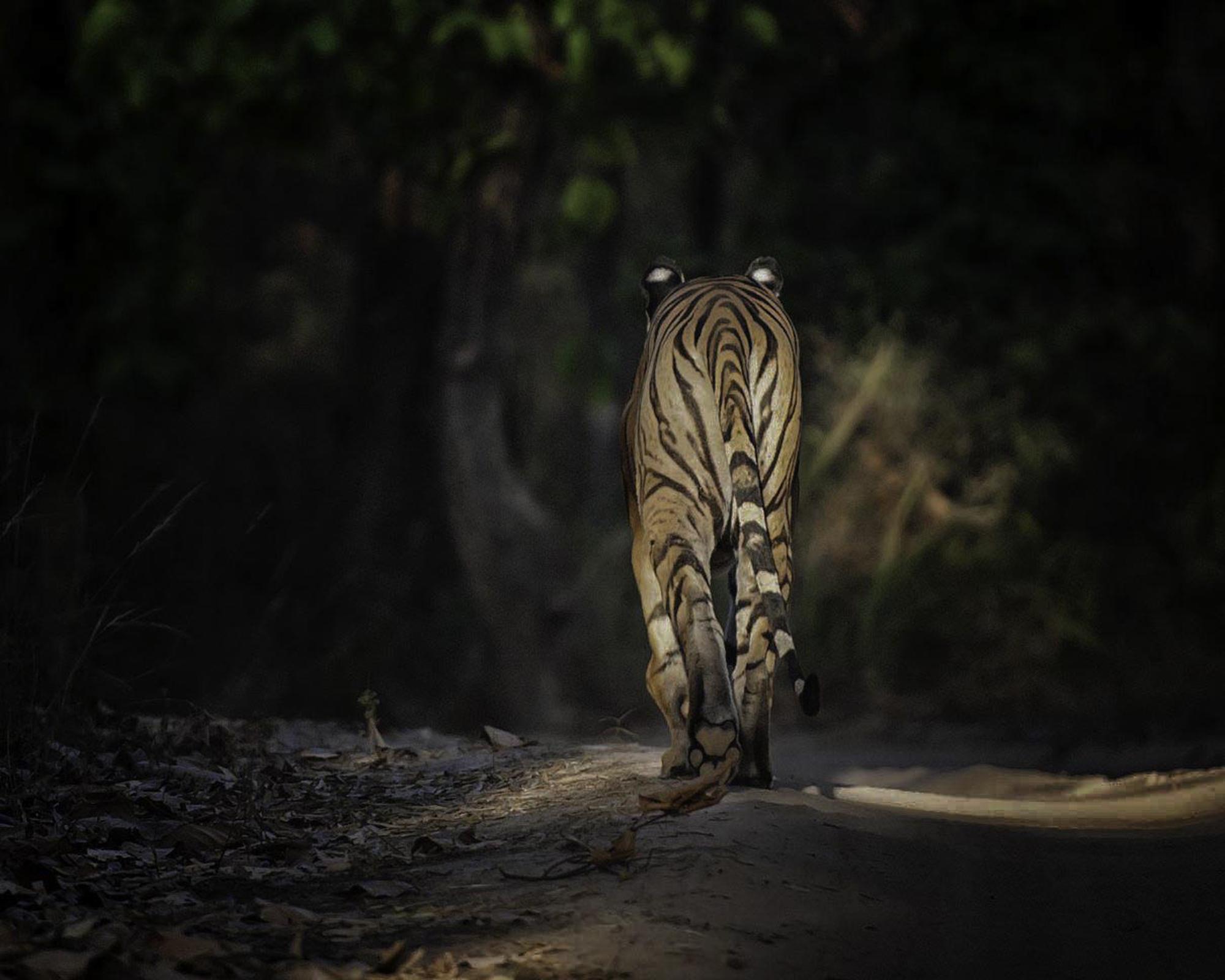 Tiger walking away.jpg