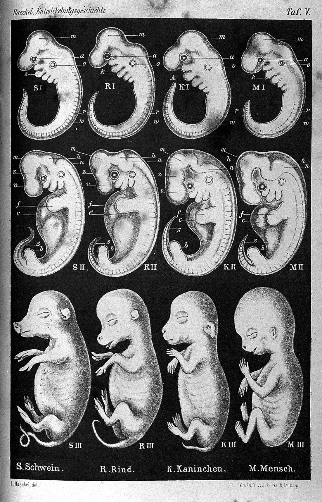 Ernst_Haeckel,_Anthropogenie._Wellcome_L0027291.jpg