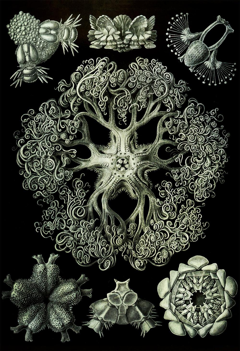 ernst-haeckel-ophiodea-print-marine-invertebrate-art-vintage-nautical-decor-ocean-wall-art-giclee-print-on-canvas-satin-5817b2ba4.jpg