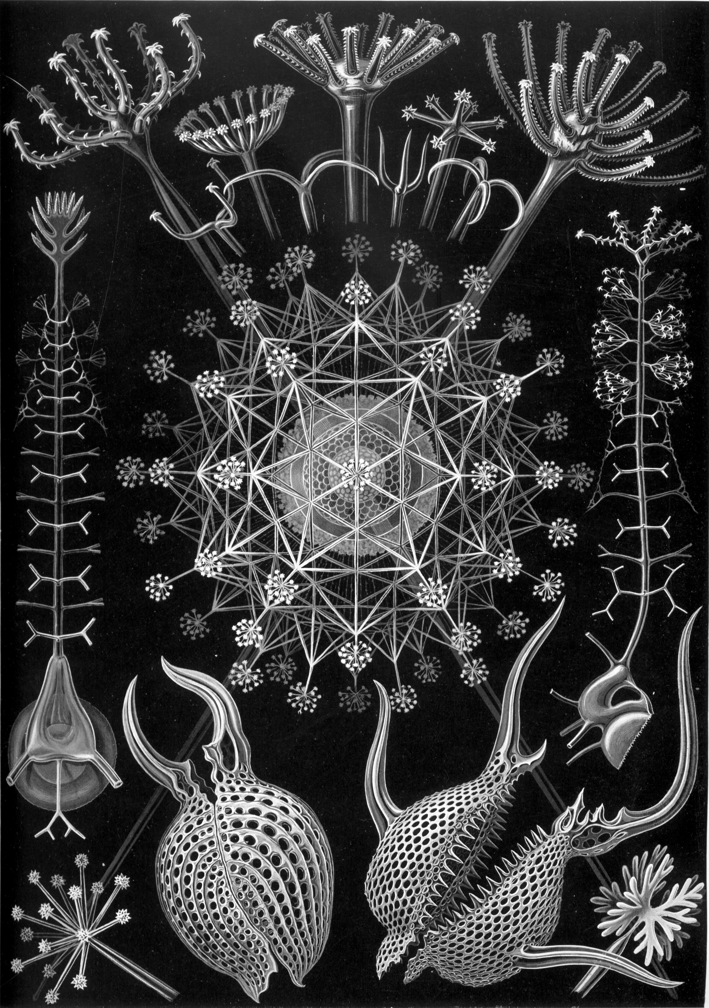 Haeckel_Phaeodaria_61.jpg