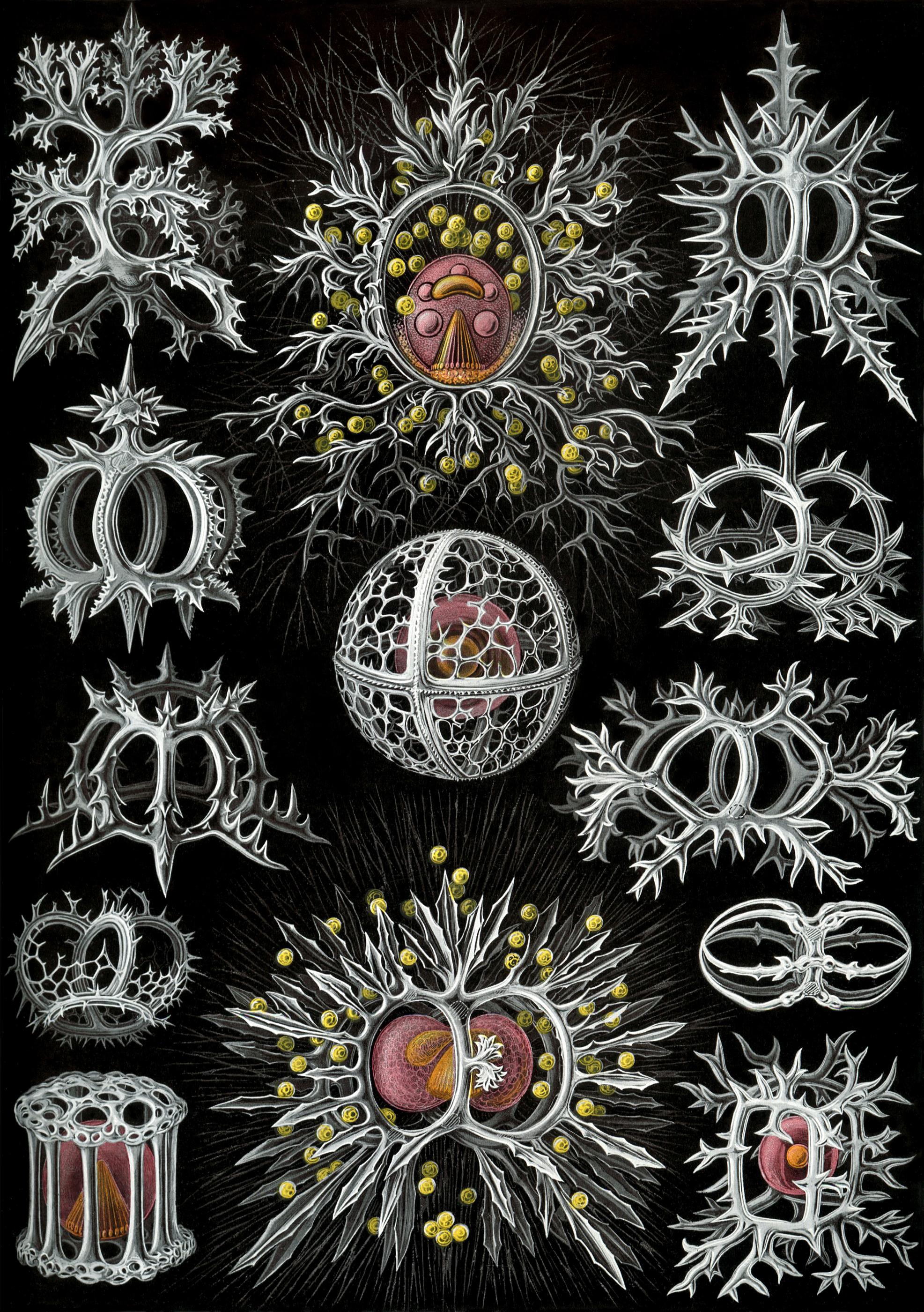 Haeckel_Stephoidea_edit.jpg