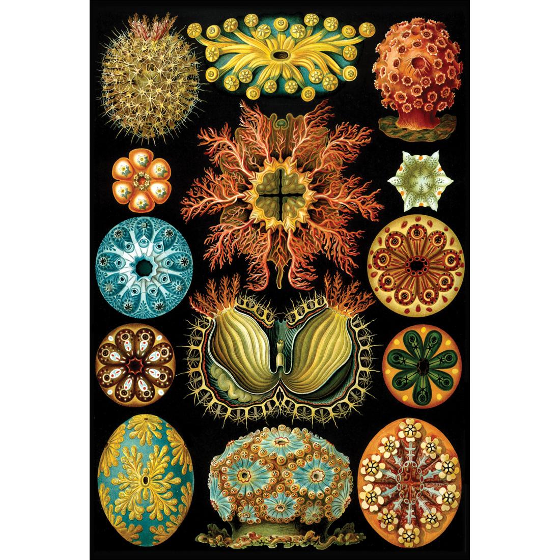 2741AR-Ernst-Haeckel-Illustration-THUMB__55457.jpg