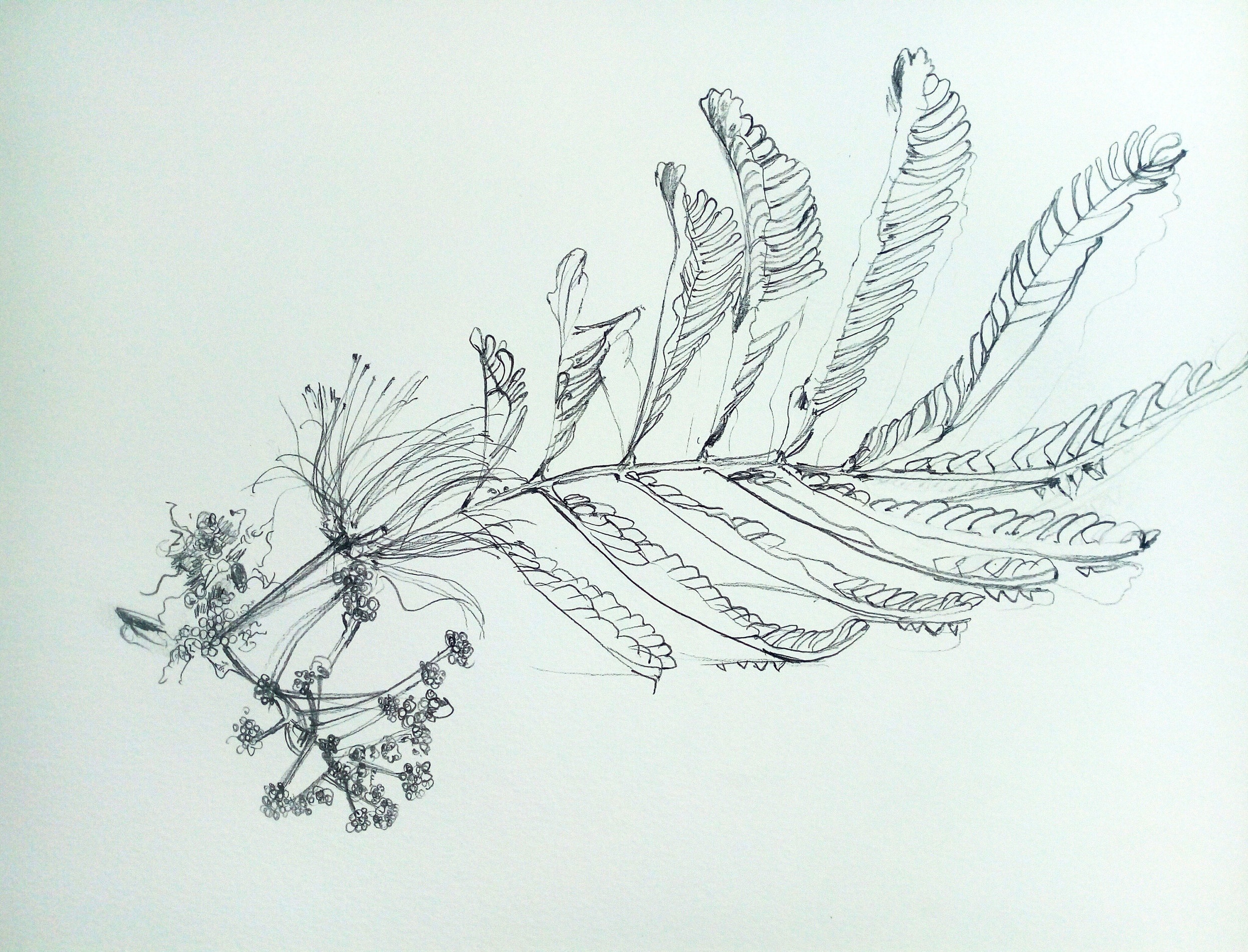 persian silk - albizia julibrissin, pencil on paper, 38 x 28cm, june 2019, £70