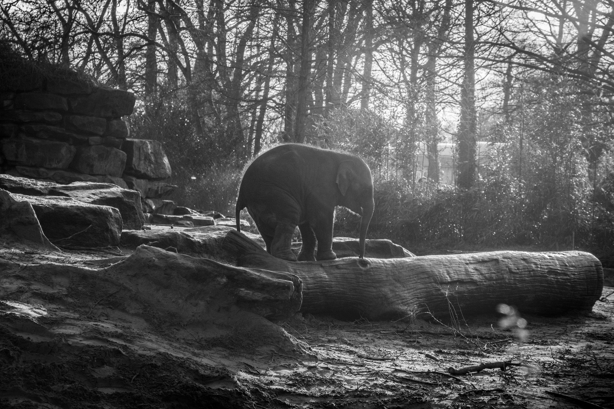 animal-black-and-white-elephant-9381.jpg