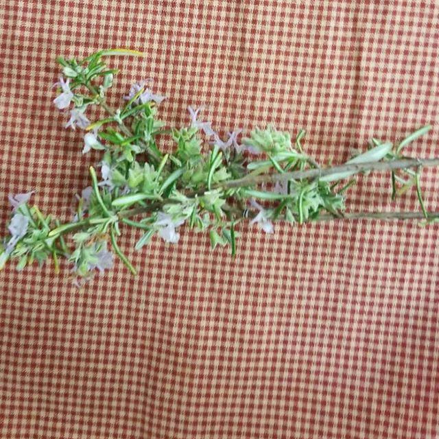 Fresh picked rosemary from my garden to your soup today.