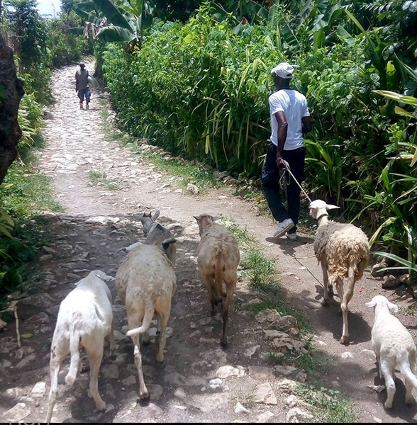 Haiti father goats.png