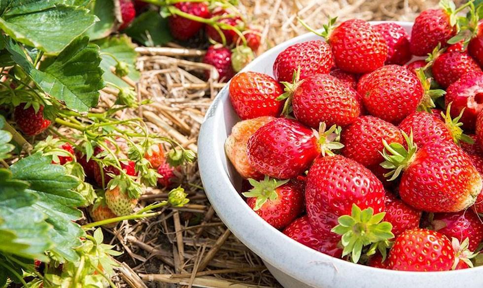 Selvpluk jordbær.jpg