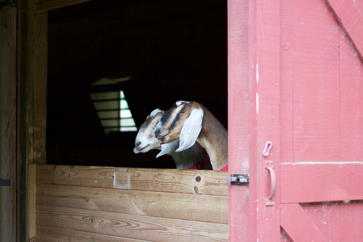 The special attraction was in the barn!