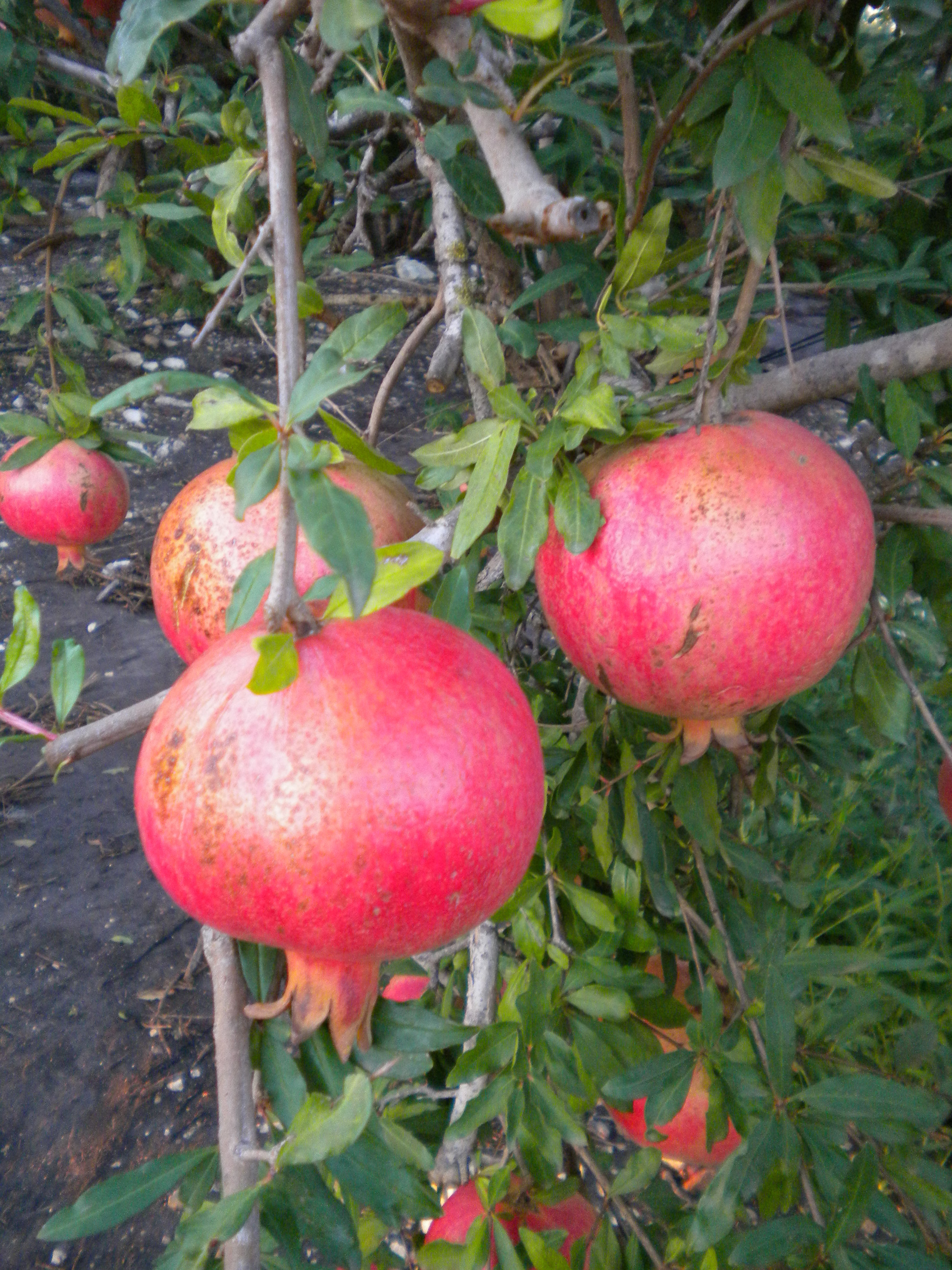 pomegranate 3.jpg