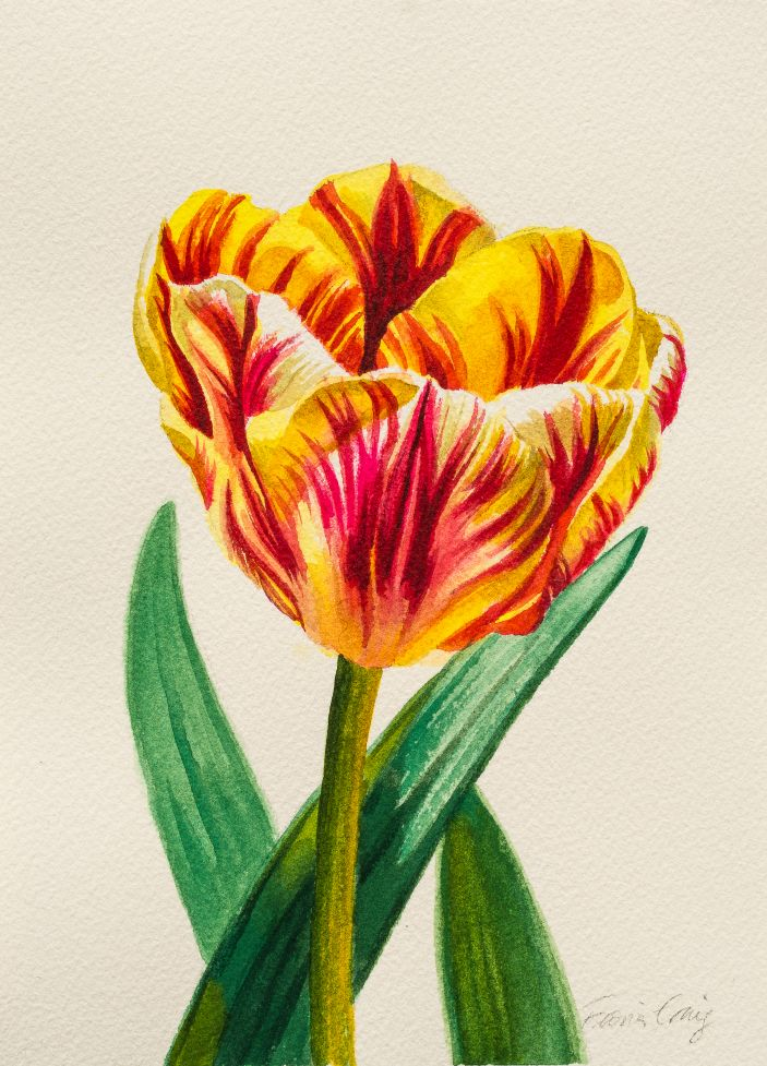 Red-Striped Yellow Tulip