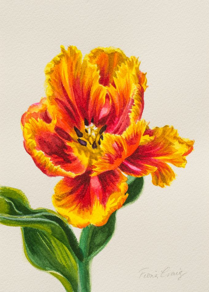 Red and Yellow Parrot Tulip
