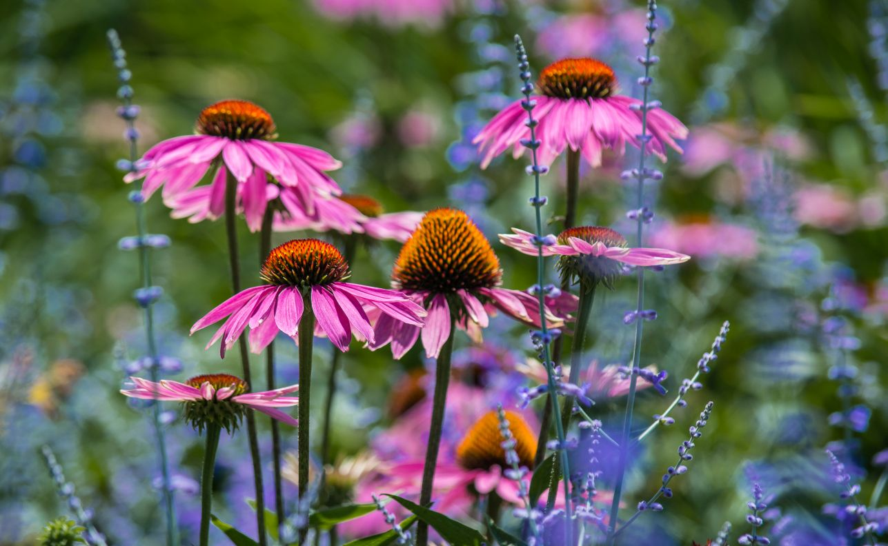 Cone Flowers (echinacea) at the Chicago Botanic Garden, planted not only for our visual pleasure, but to encourage butterflies and bees. Photo by F. Craig