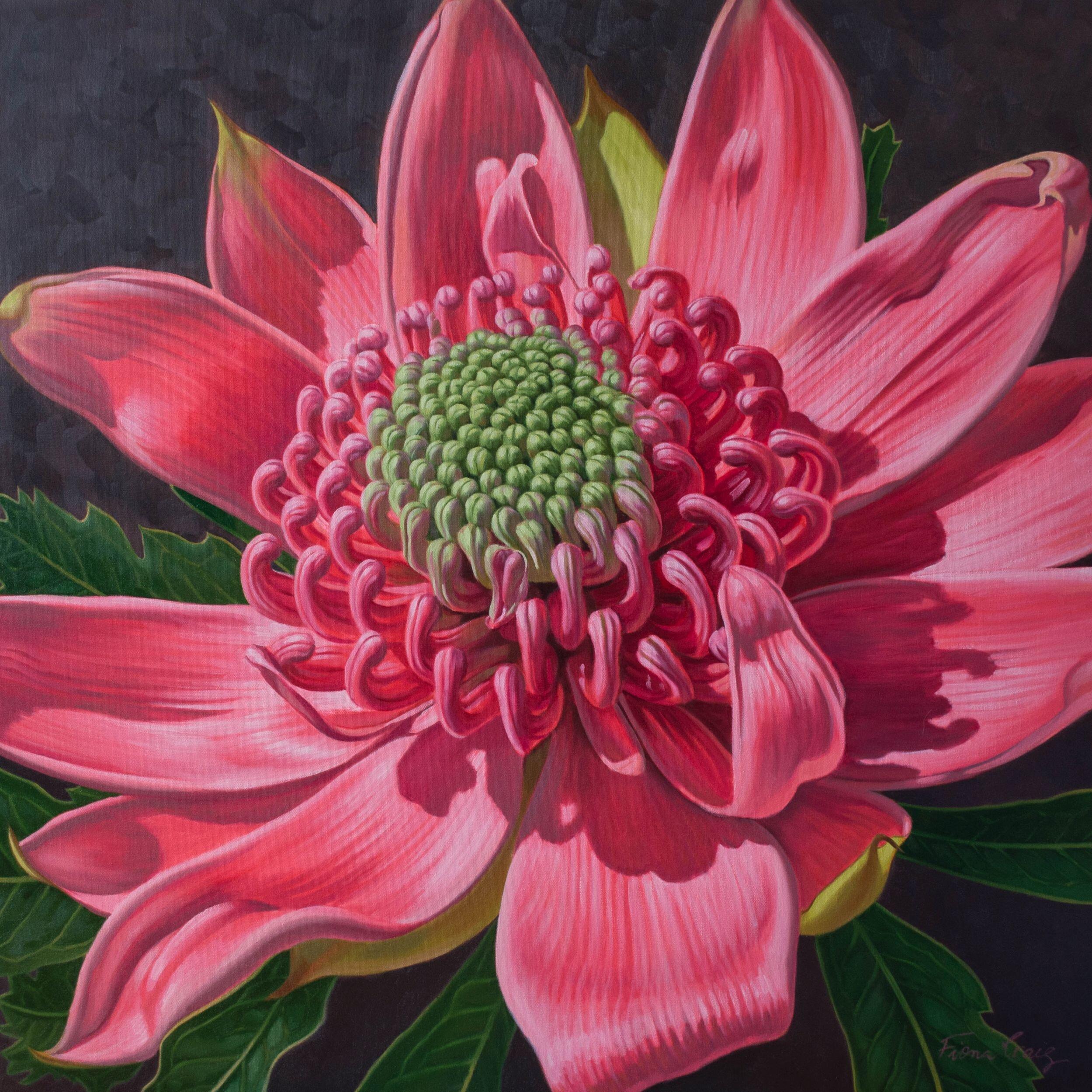 Pink Waratah Beauty 1