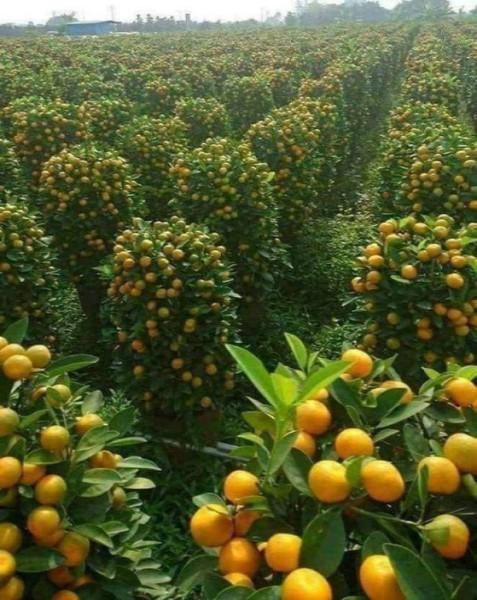 Orange Grove in Israel