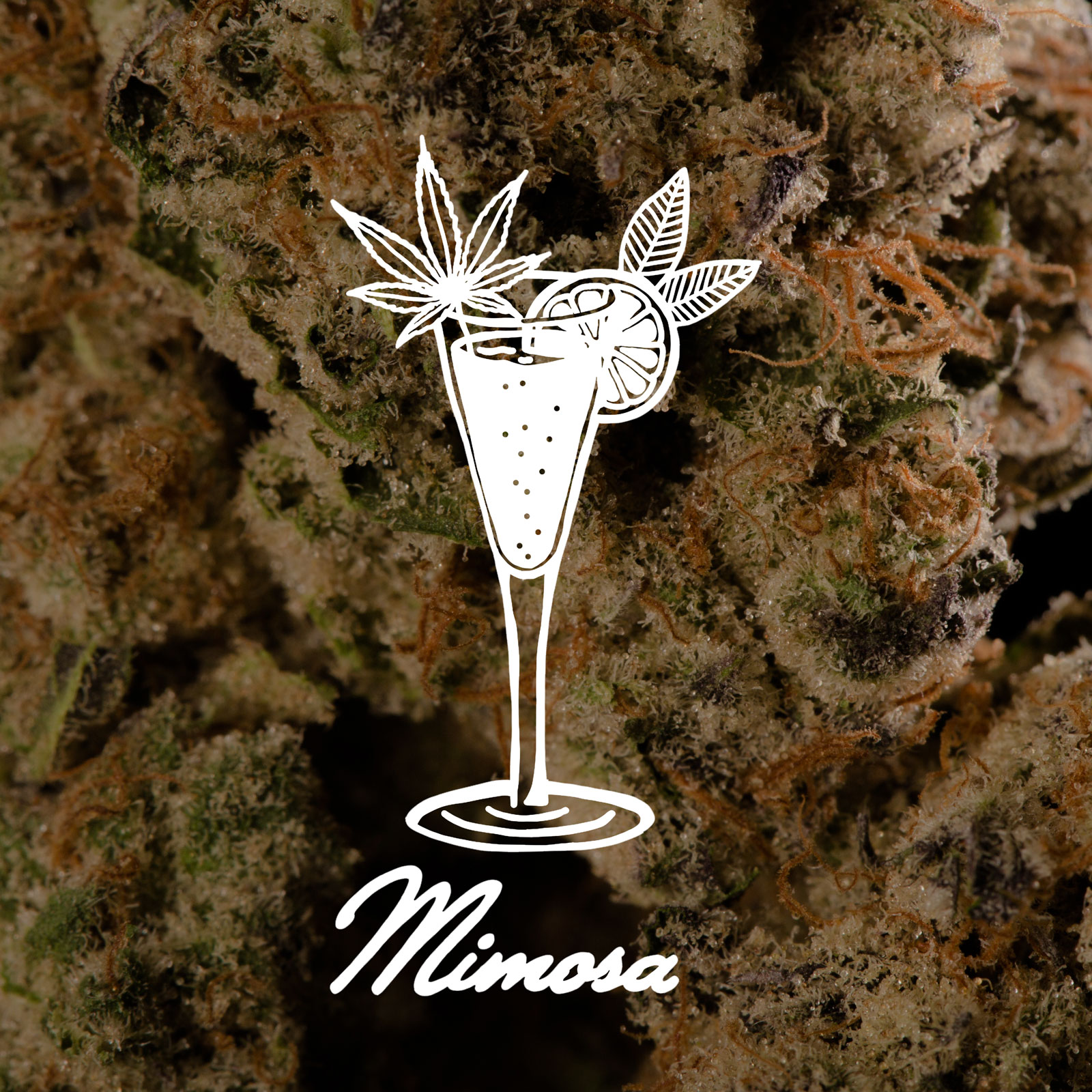Just like the famous Sunday brunch beverage, Mimosa will leave you feeling refreshed, relaxed, and engaged. This cross is between Clementine and Purple Punch 2.0. with sweet citrus aromas matched with a fruit punch-like taste, leaving you with an excellent mid-level buzz. Just like the drink Mimosa, if your enjoyment gets to the best of you, the trajectory of your day may need a little altering.