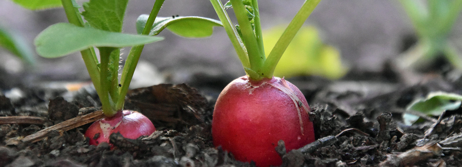 organic-radishes.jpg