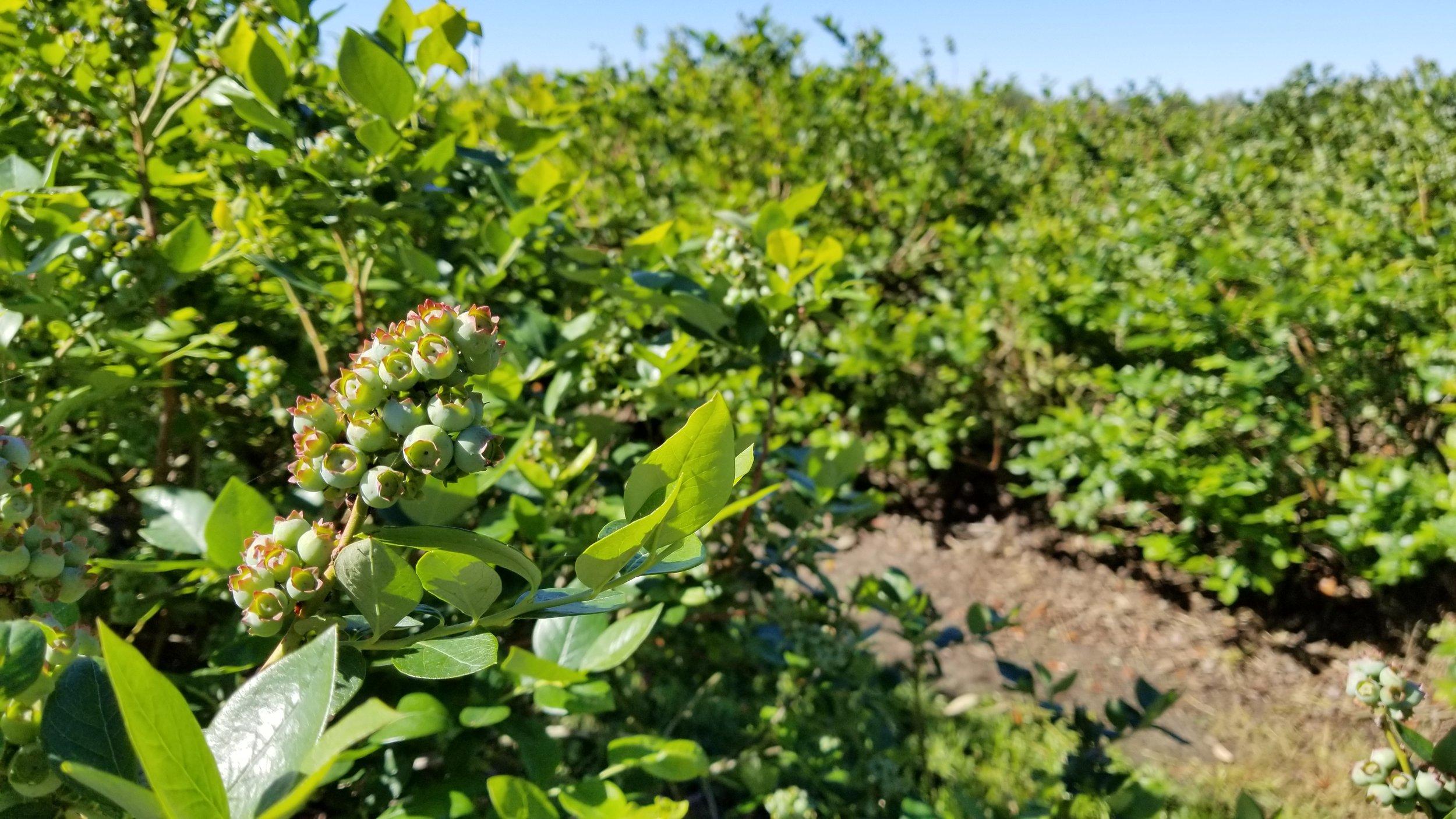 Blueberry bushes at Red, White & Blues Farm in Williston, Florida