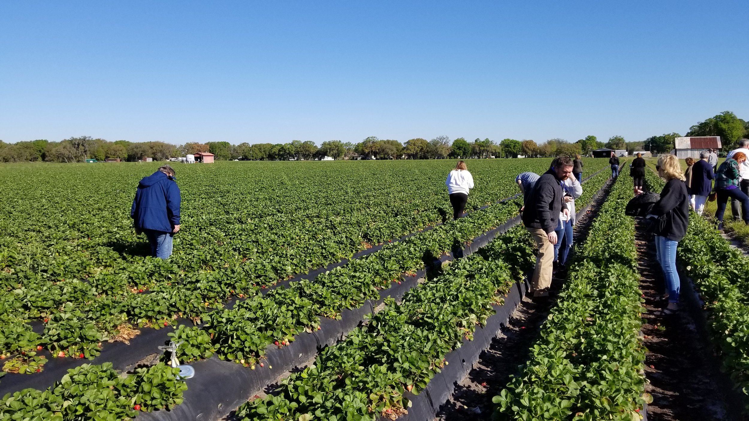 Sampling the berries at Fancy Farm in Plant City, Florida