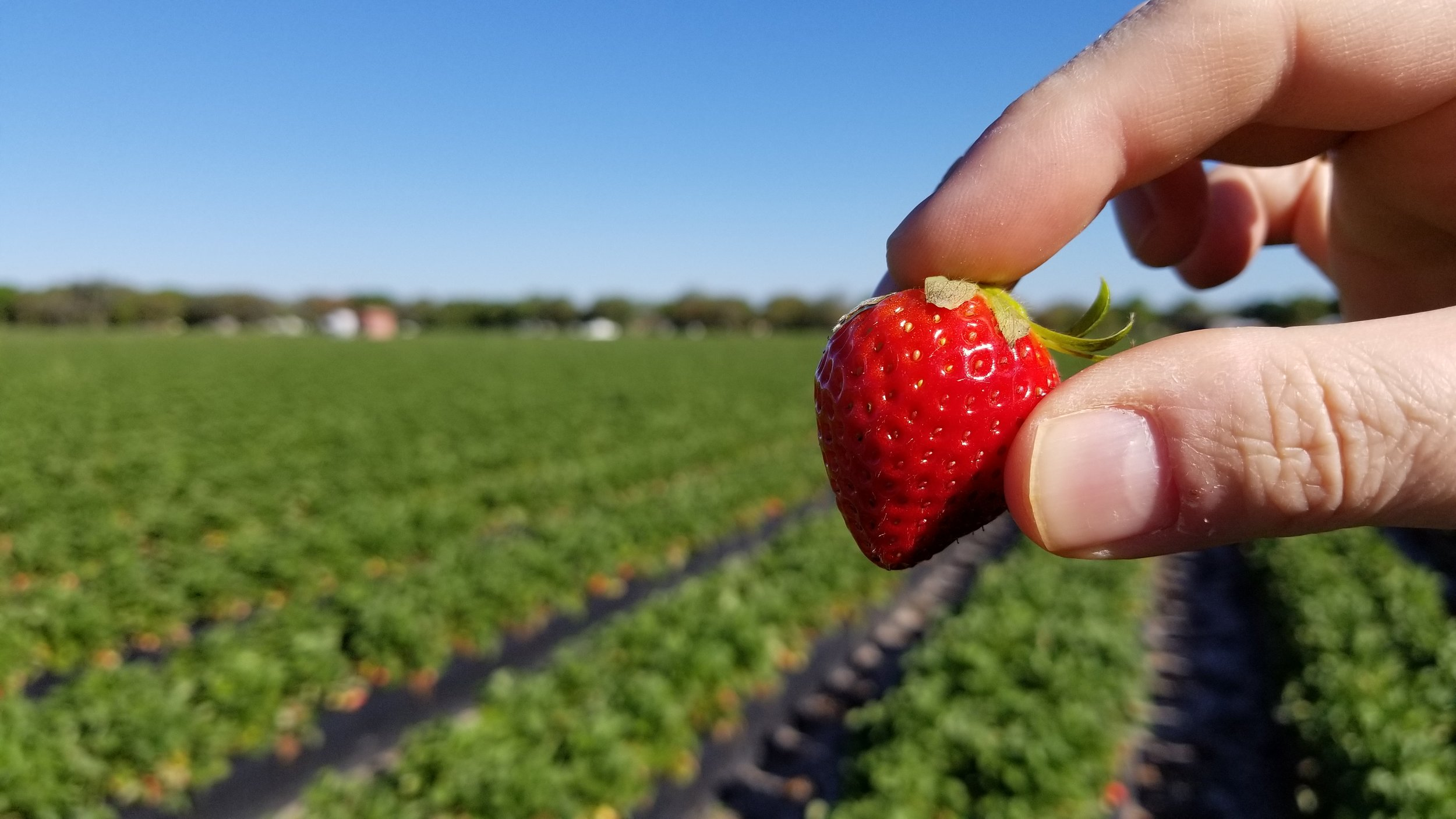 Strawberry fields forever at Fancy Farm in Plant City, Florida