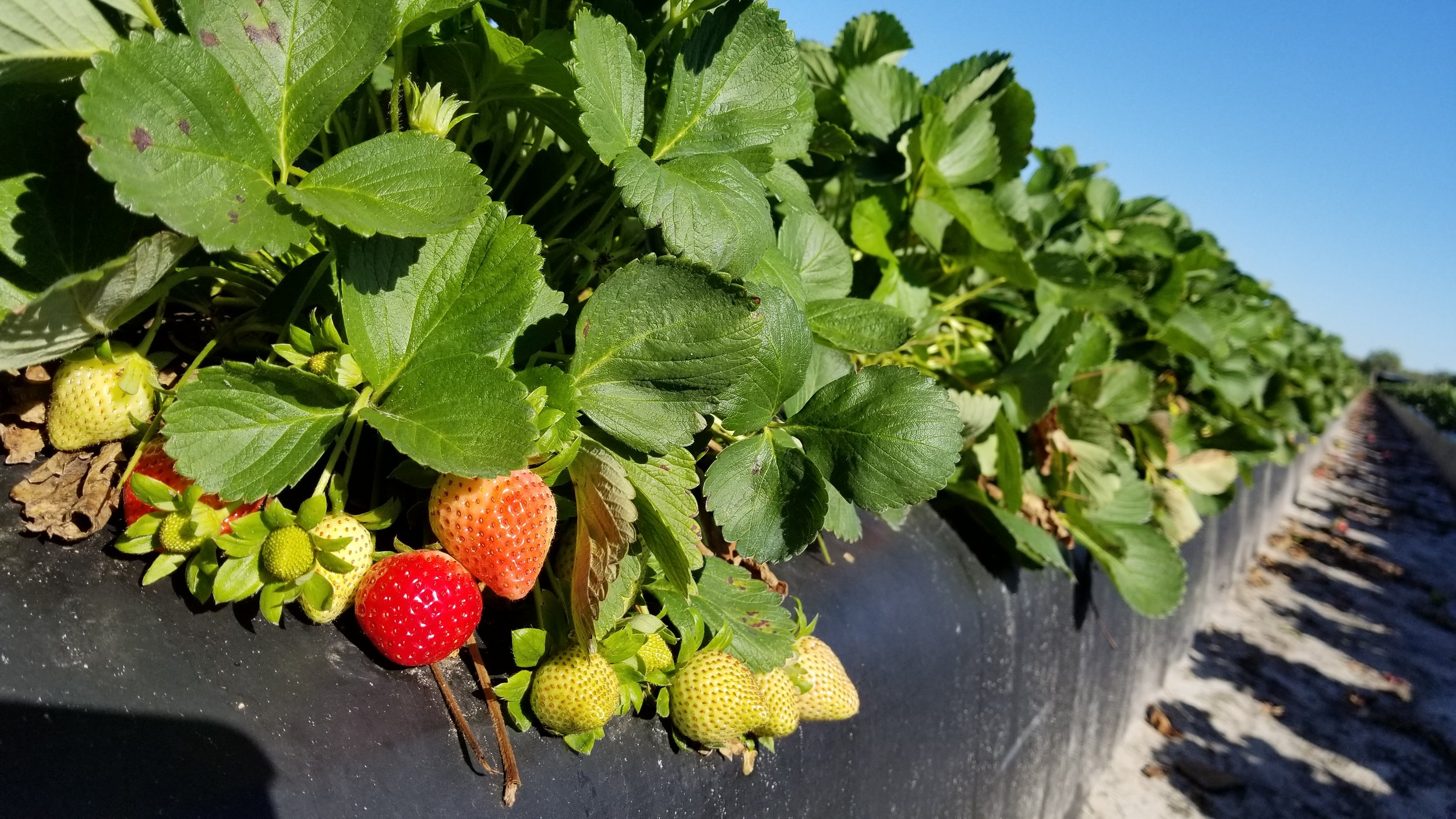 Fancy Farm strawberries in Plant City, Florida