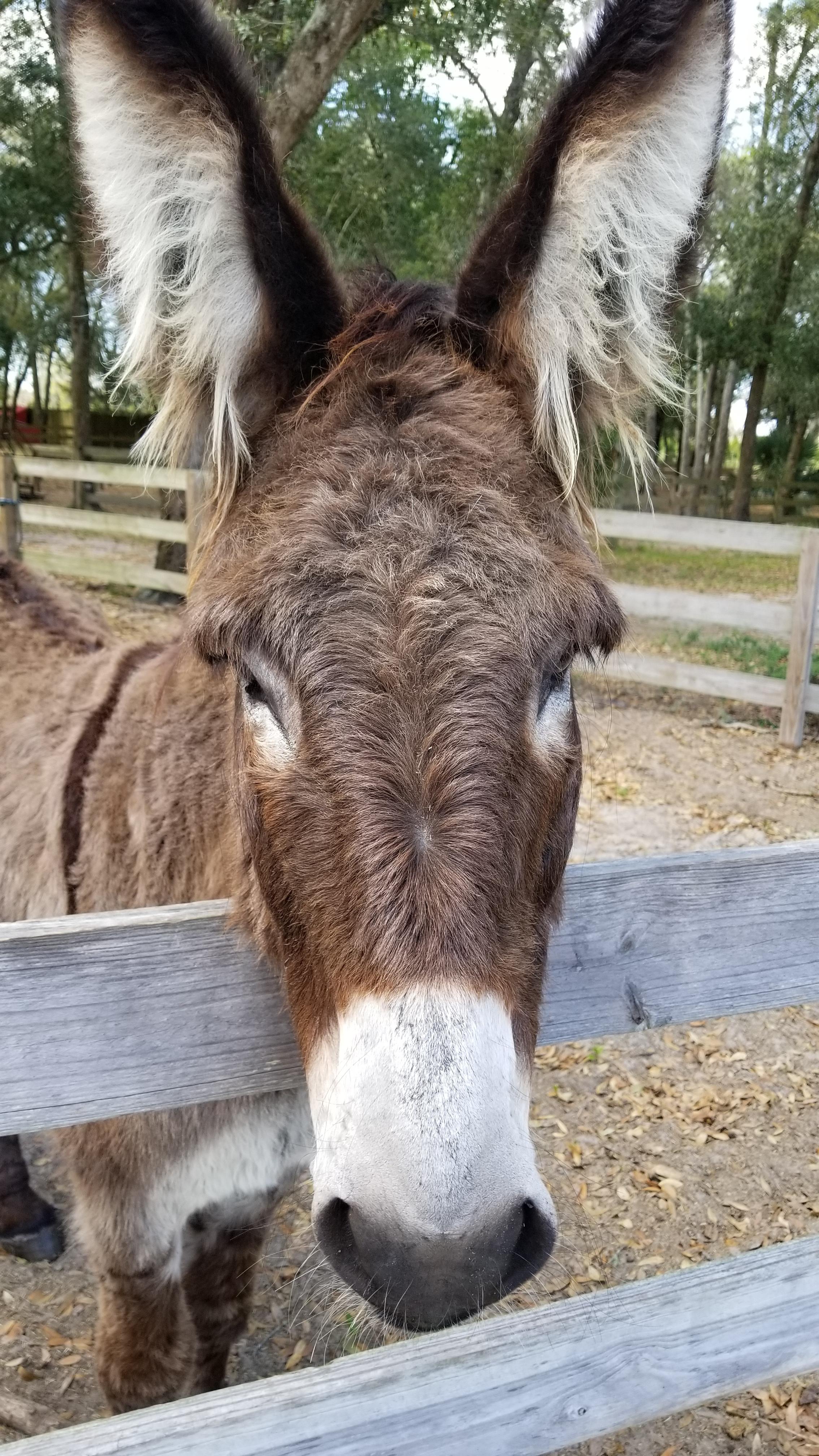 This burro enjoys living at Santa's Christmas Tree Farm in Eustis, Florida.