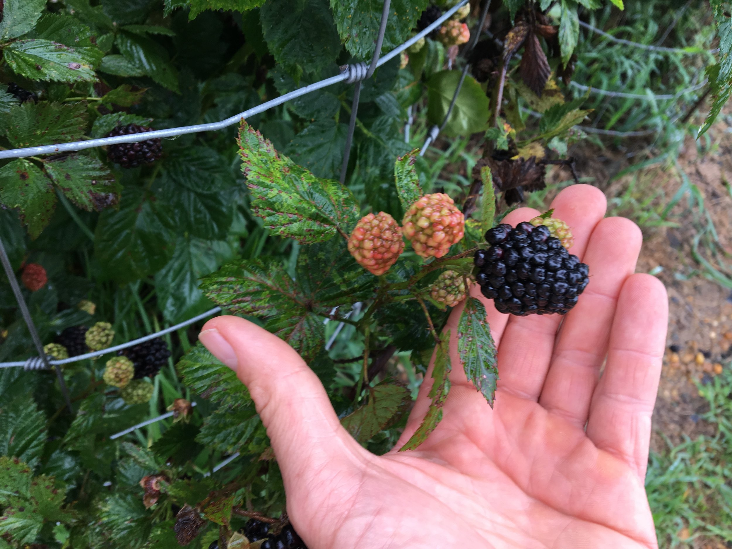 Laura Pallas - Blackberry size u-pick.JPG