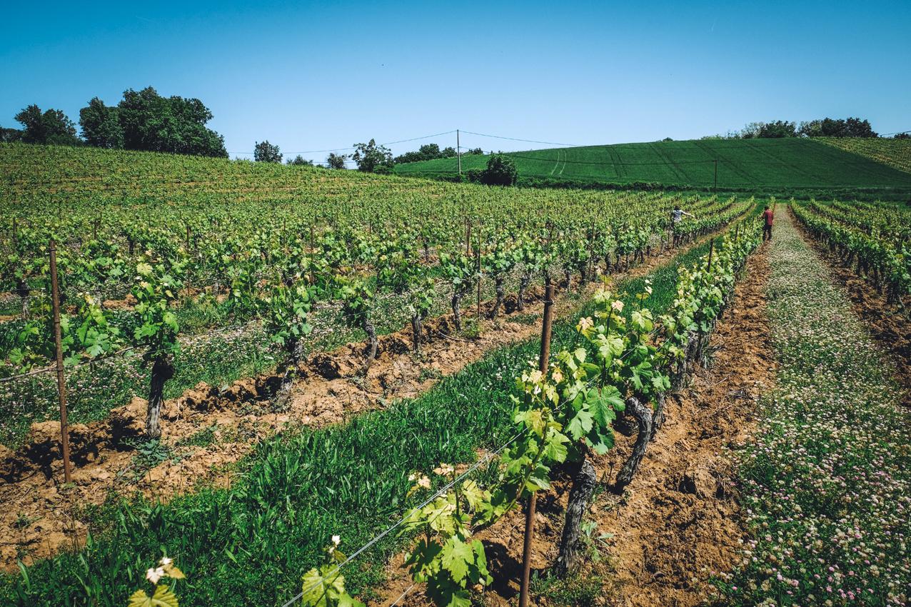 le Travail du sol - Nous travaillons le sol de nos vignes un rang sur deux, une première fois au printemps, puis à l'automne, afin de permettre à l'eau et à l'air de pénétrer la terre asséchée par les canicules de l'été ou les gelées de l'hiver. Ces interventions sont faites le plus superficiellement possible, le soc ne pénétrant que sur une dizaine de centimètres au maximum afin de ne pas bouleverser les différentes strates de matière organique et les écosystèmes souterrains. L'enherbement naturel reprend ensuite sa place, en alternance avec des semis de variétés choisies pour leurs capacités à structurer et enrichir les horizons du sol.