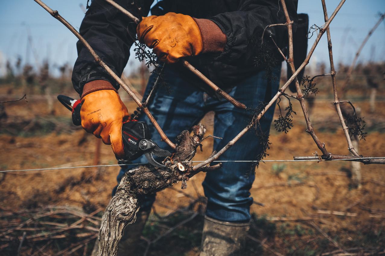UNE Taille douce - La taille de la vigne est un moment fondamental dans le cycle annuel de la plante. Nous avons adopté les préceptes de la taille douce, inspirée de la méthode « Poussard », qui permettent de préserver la continuité des flux de sève, et ainsi la vitalité naturelle de chaque pied de vigne. Nous adaptons notre geste à chaque cep, pour que tous puissent exprimer leur plein potentiel.