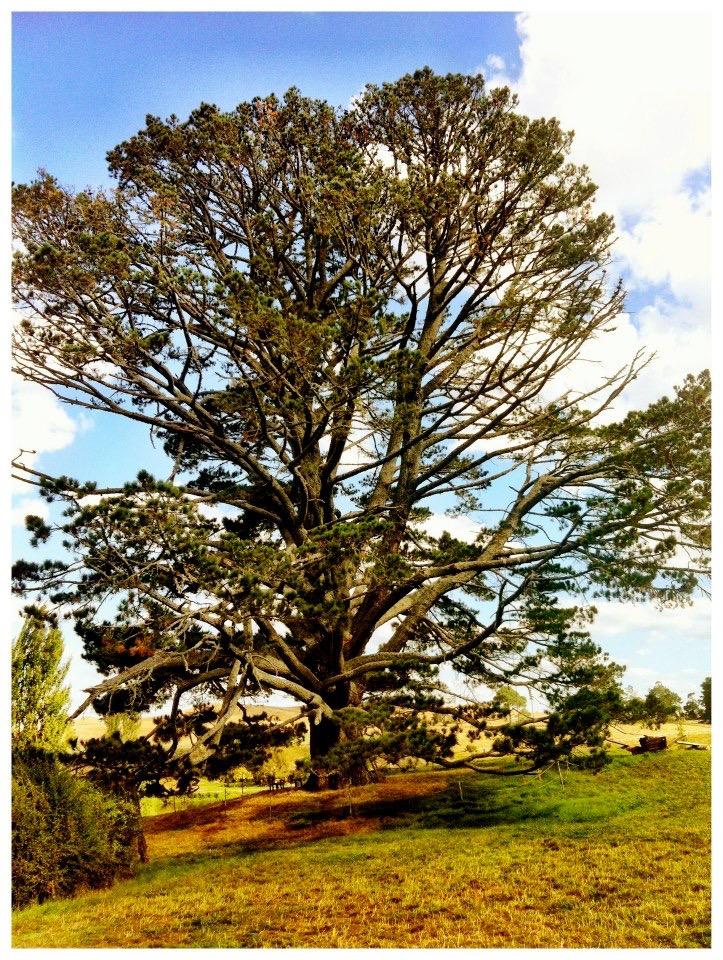 The party tree in Hobbiton, New Zealand