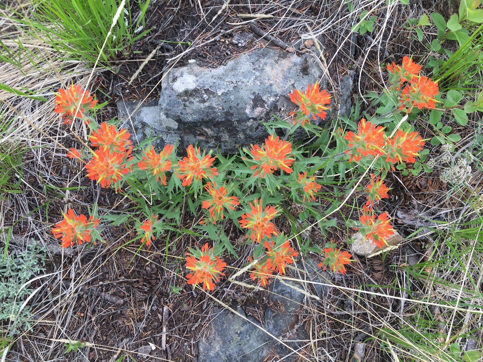 Orange wildflowers in the Okanagan Valley, British Columbia