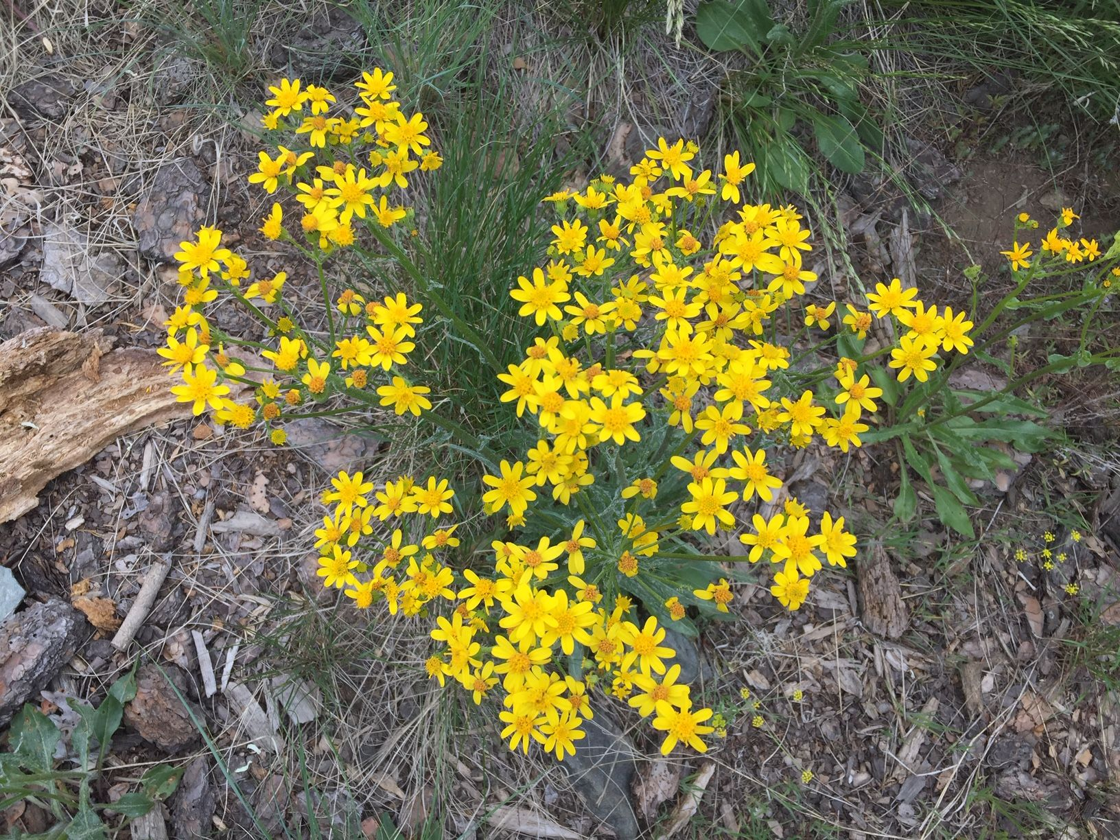 Yellow wildflowers in the Okanagan Valley