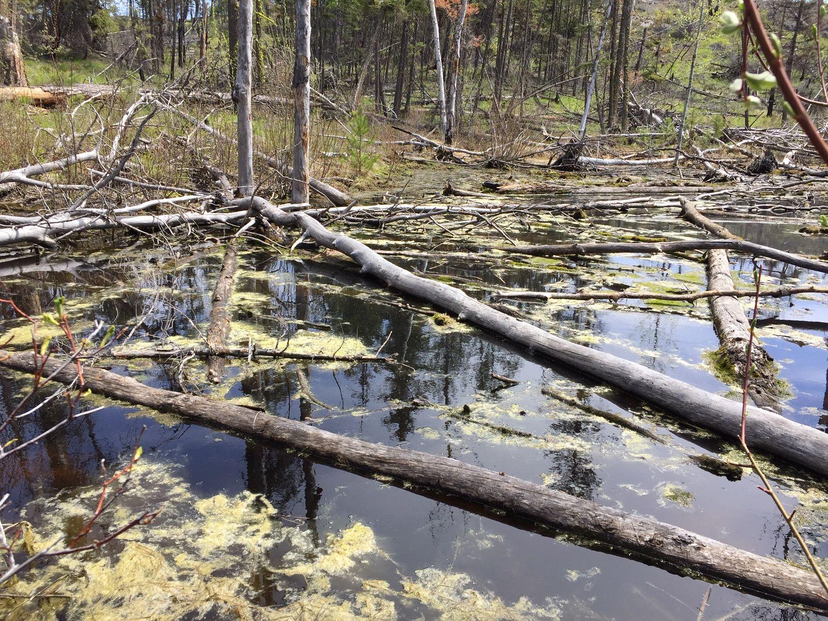 A swamp on McDougall Rim Trail, West Kelowna, British Columbia