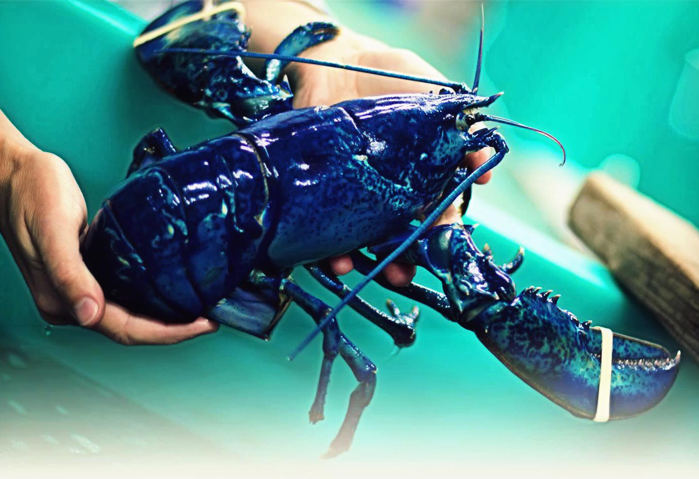 Blue American Lobster (Homarus americanus) Photo By: Université Sainte-Anne