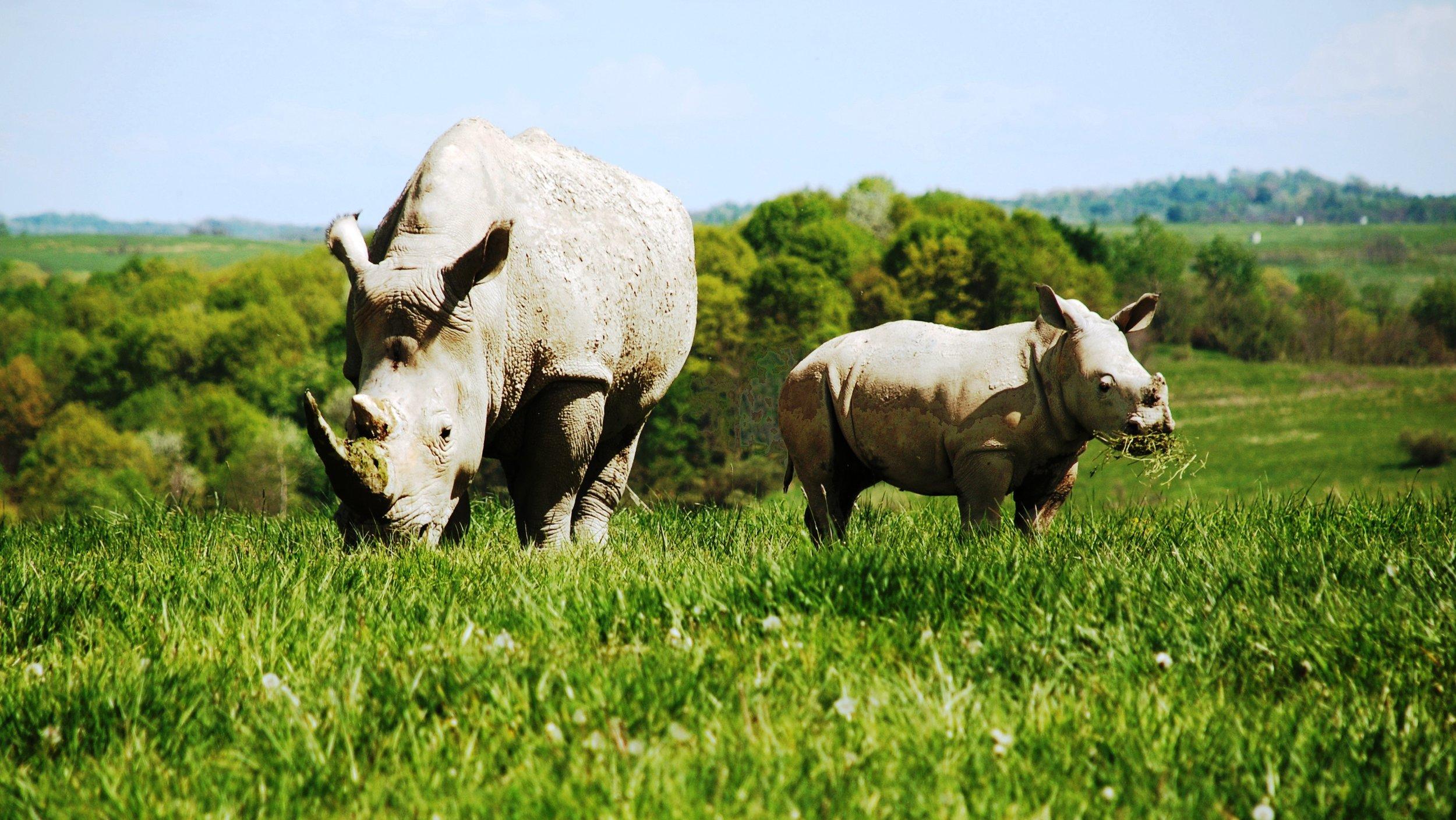 White Rhino A.jpg