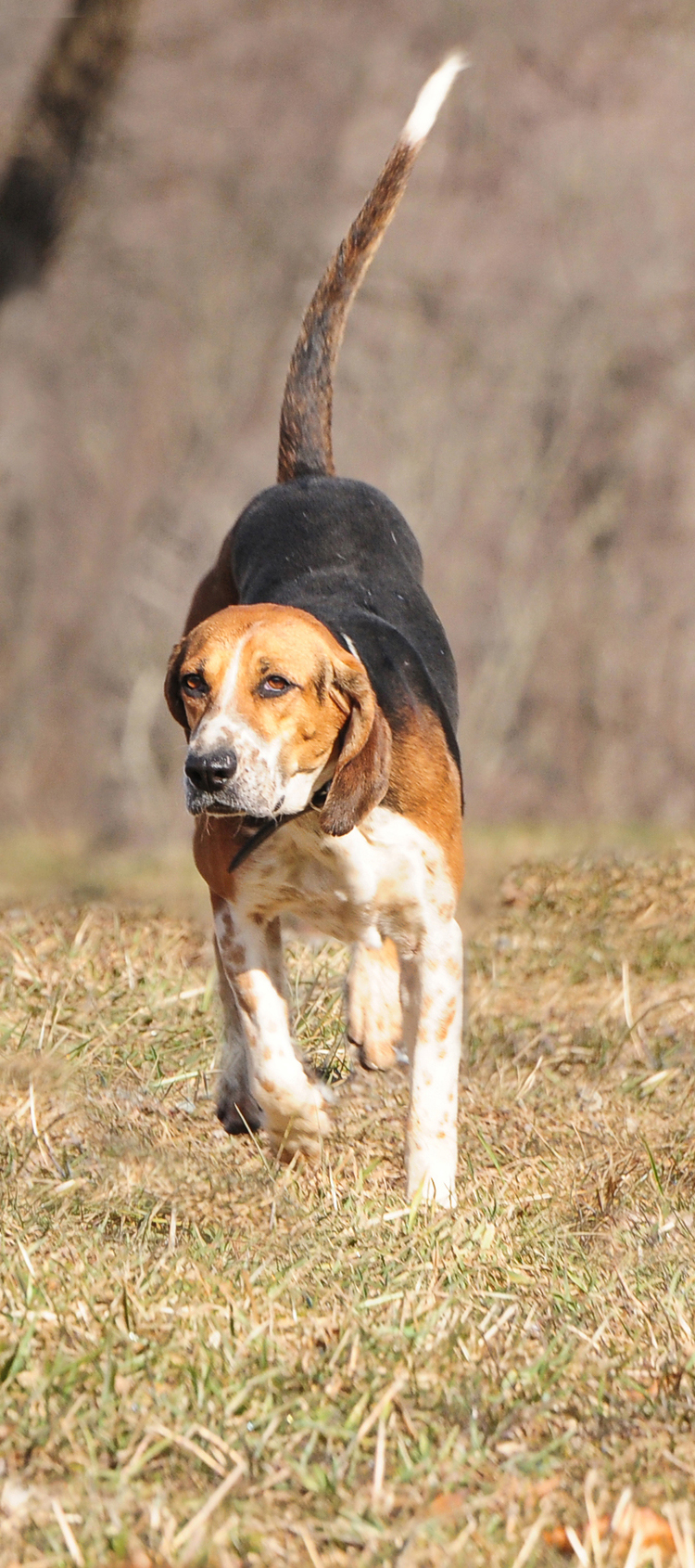 Foxhound hunting in PA at Radnor Hunt