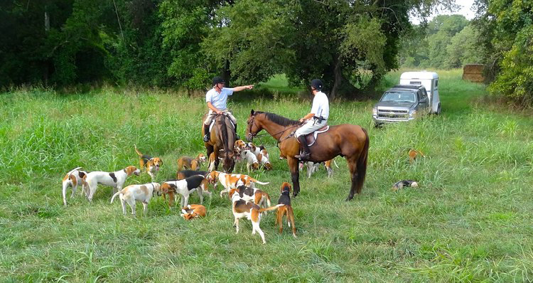 Pack of hunting foxhounds with riders on their horses
