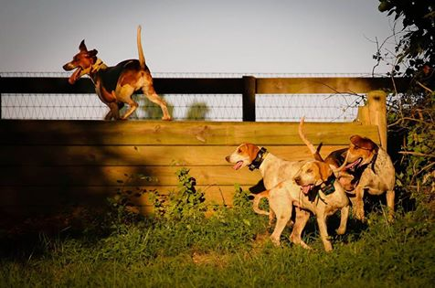 Foxhounds climb over a fence during the Radnor Hunt