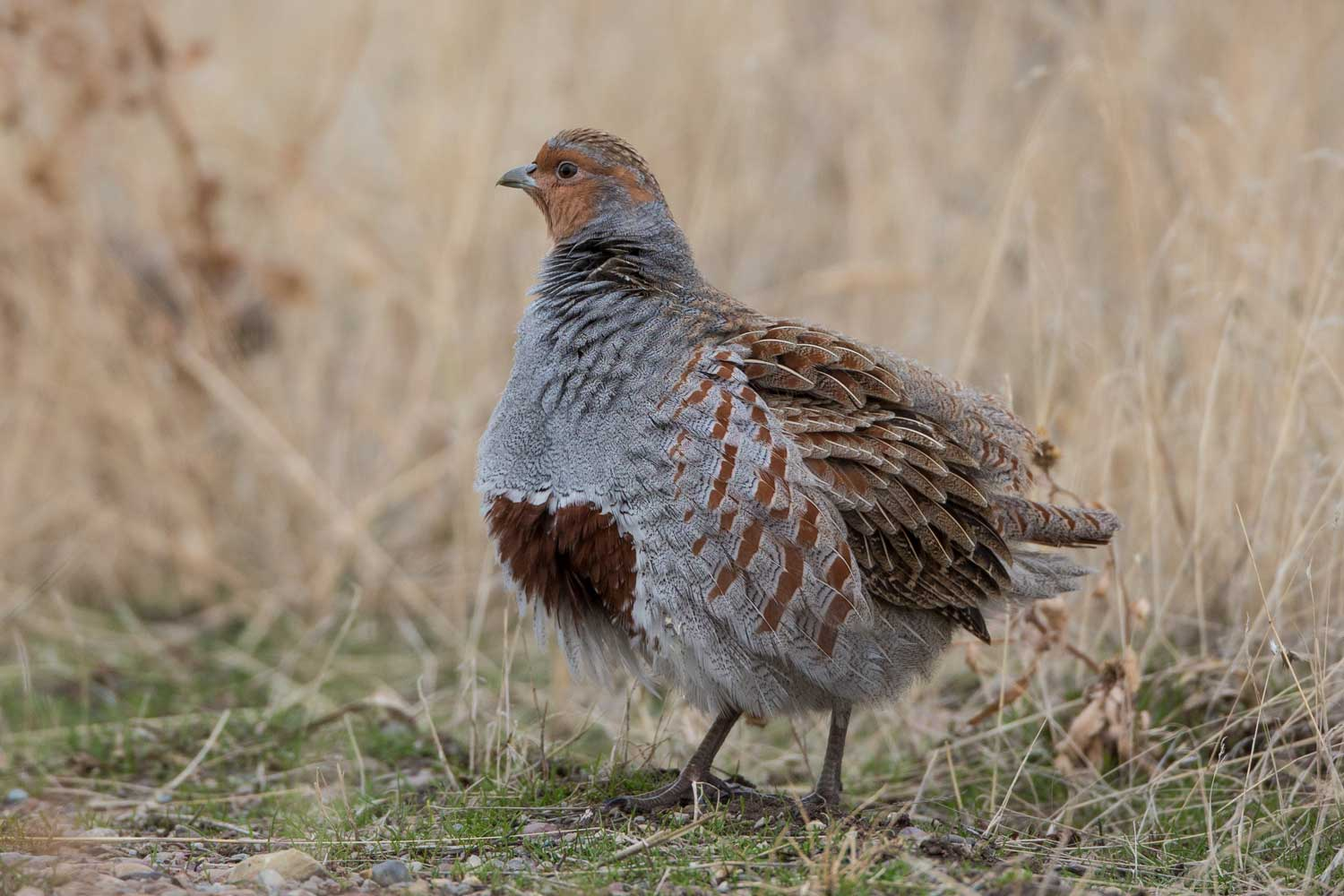 HungarianPartridge_web.jpg