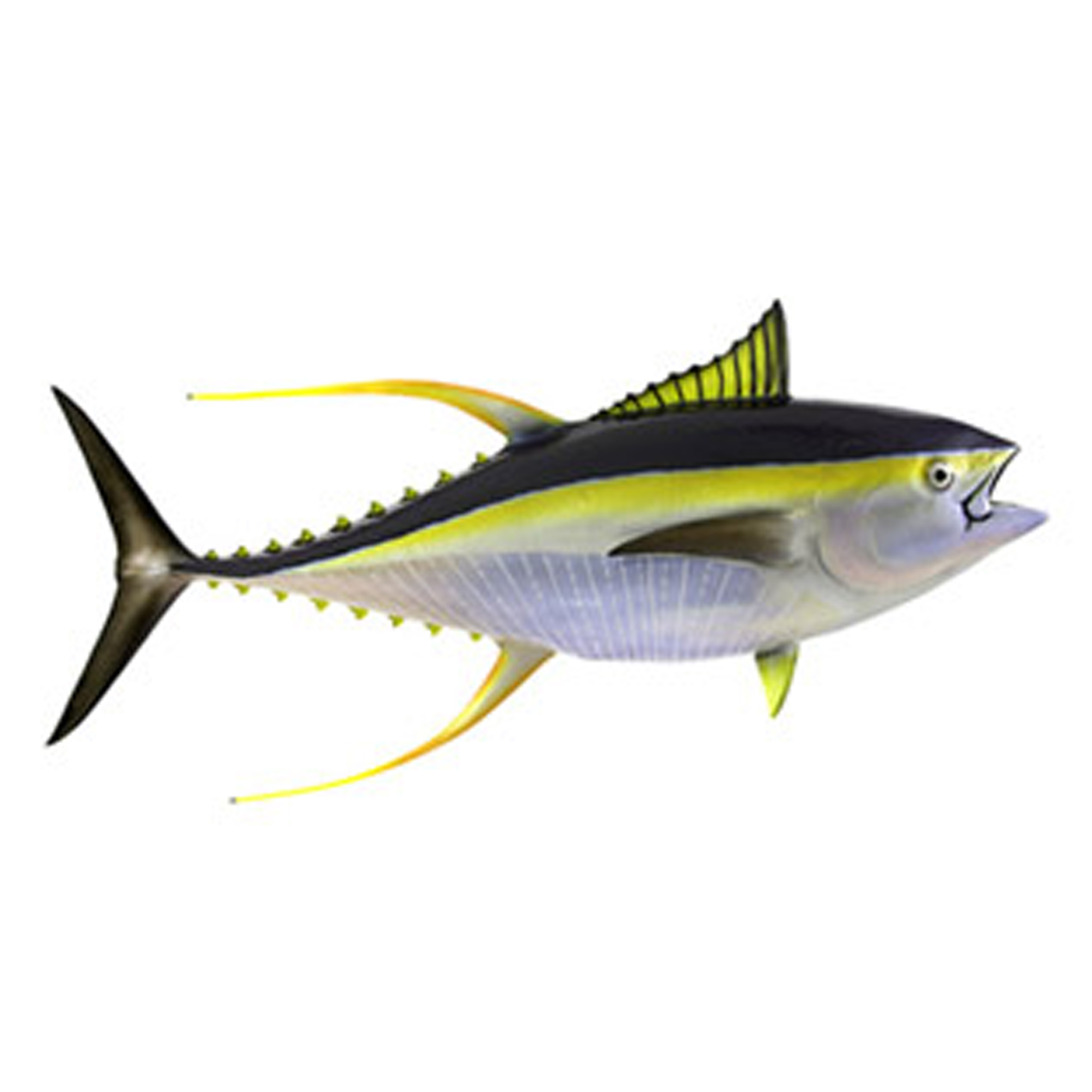 Yellowfin Tuna  (A'ai)  Average size is 13kg but can get up to and over 80kg. Yellowfin are very hard fighting fish that foam large schools and are found more often during the summer. A delicious fish and very good for sashimi.