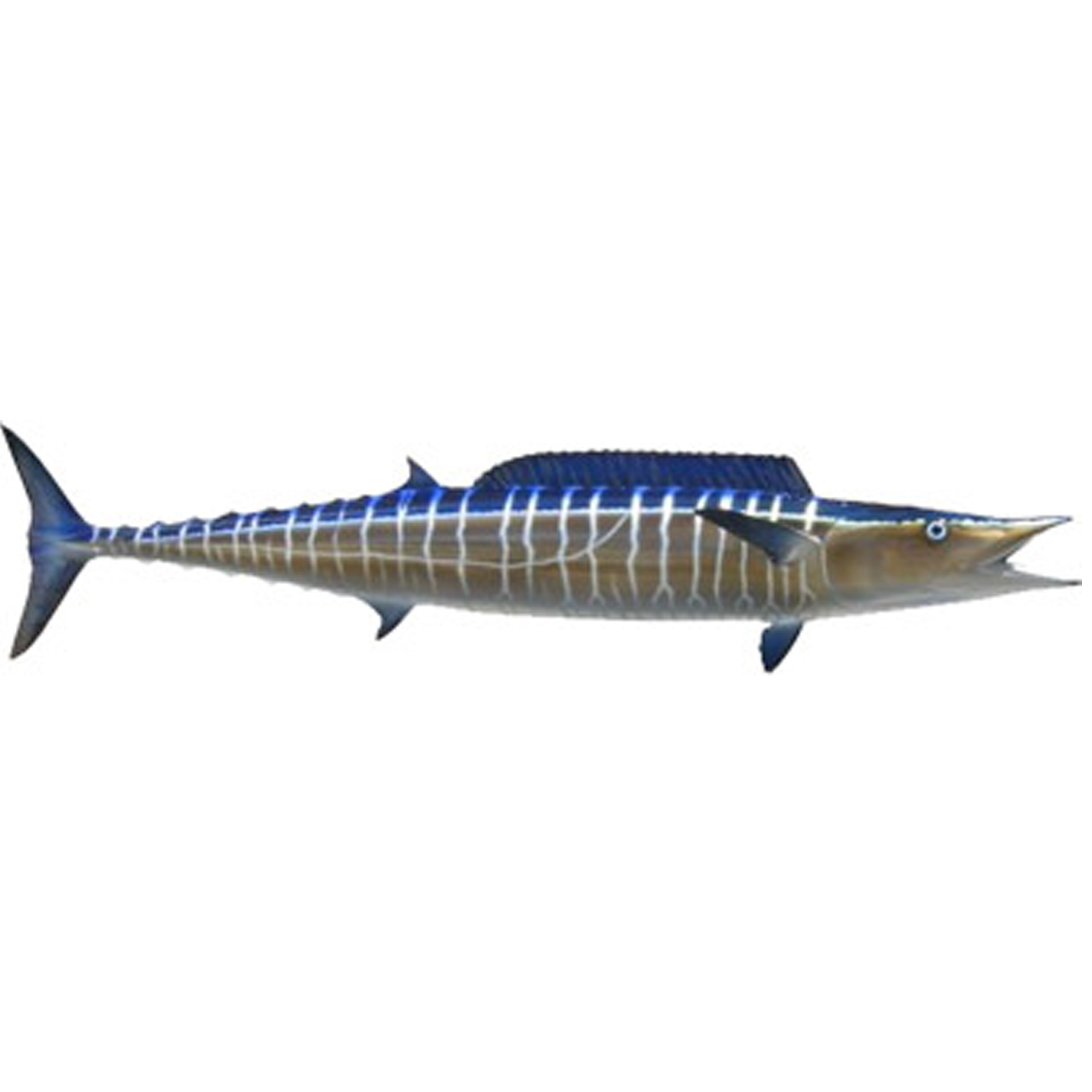 Wahoo   (Pa'ara)   The fastest accelerating fish in the ocean, the reel screams when a wahoo hits the lure. Good eating and more common during the winter months around Rarotonga. Smaller one are under 10kg but monsters getting close to 50kg are caught occasionally.