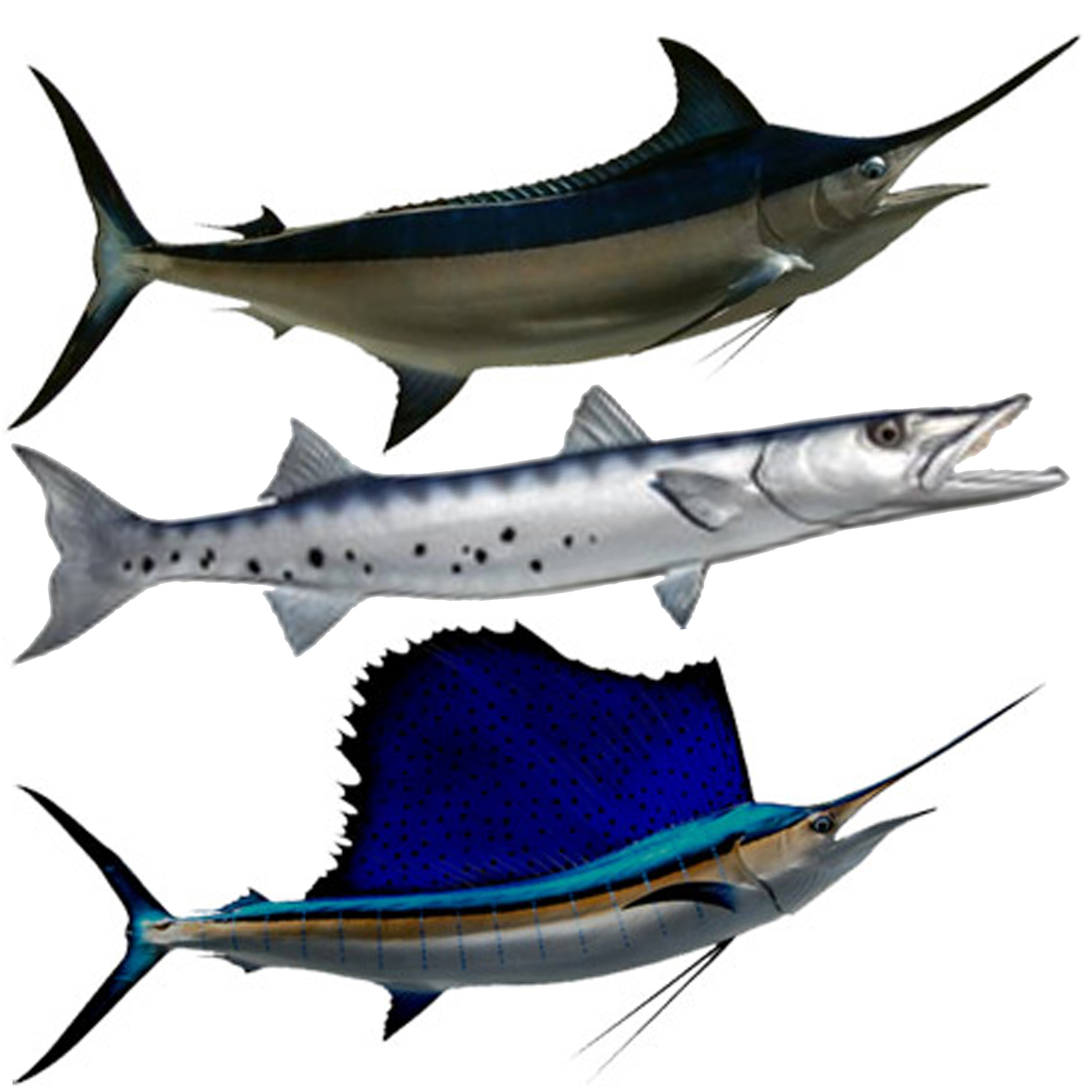 Other Species   Black Marlin, Barracuda and Sailfish are also taken from time to time. Black Marlin and Sailfish are rare, Barracuda much more common but not targeted.