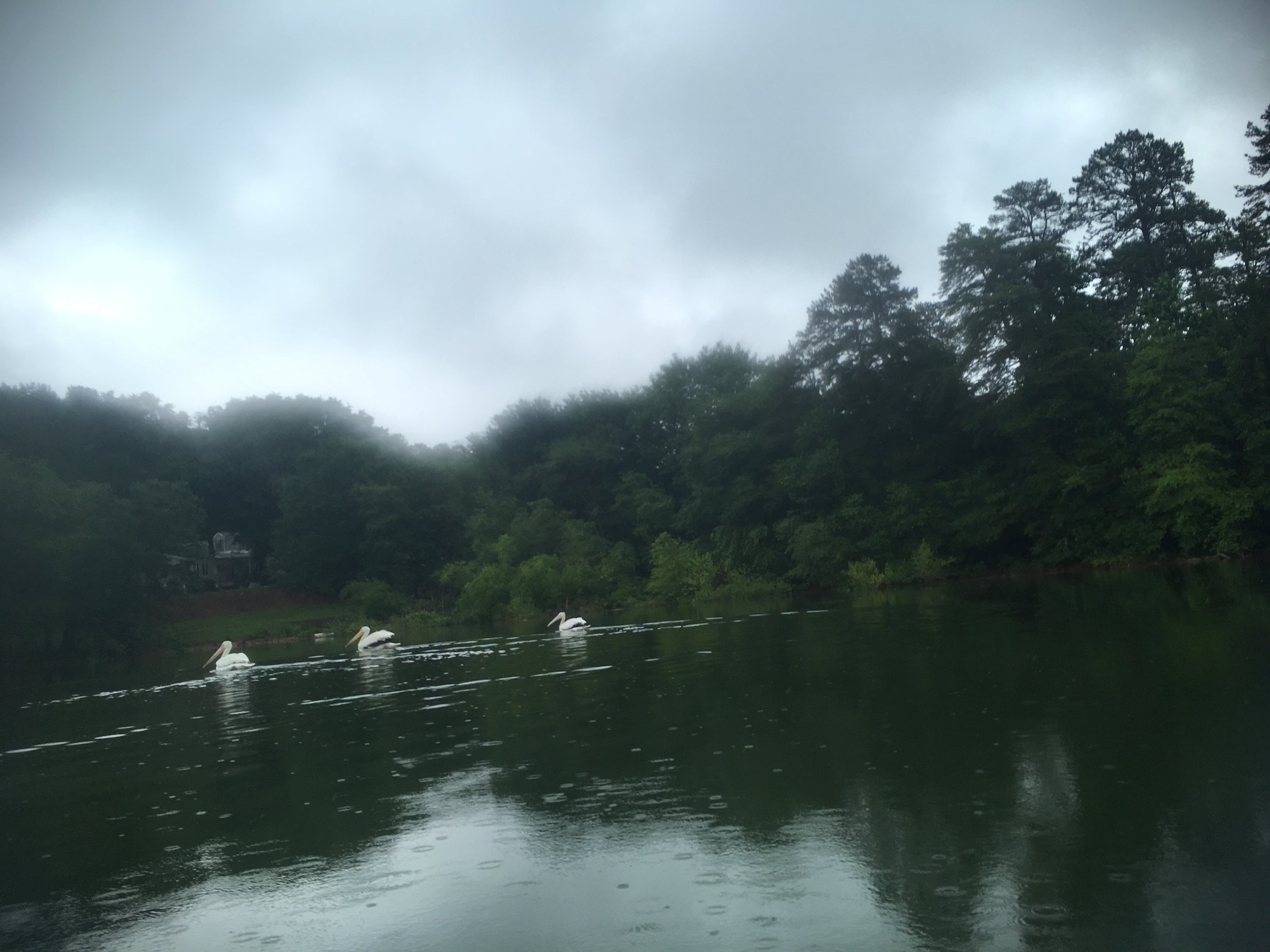 Pelicans, rare on Lake Lanier, sighted during The Lanier Lap
