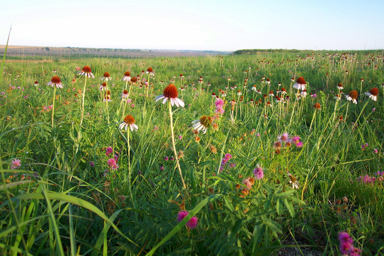 Prairie flowers, Wikimedia Commons